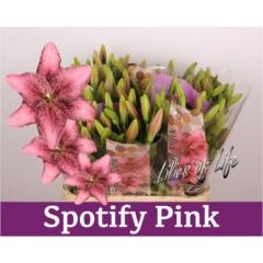 Lilium La Spotify Pink 3-5 90cm