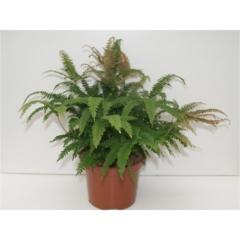 zimmerpflanzen bl hend springmann premium pflanzen. Black Bedroom Furniture Sets. Home Design Ideas