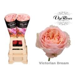 Rose bh Victorian Dream@ 60cm