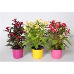 Hervorragend Celosia Hot Topic - Pflanzen Springmann MS64